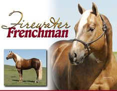 Firewater Frenchman - Another truly great option in a breeding program. The balance and great muscling only compliments his ability, if you want a horse that has talent, color and a honest chance to be great look here. Be careful if you think that only these 17 hand horses can win. Look and see who is winning on what. Run these 15 hh horses and just don't pound them in the dirt respect them as equipment or a tool and see an increase in wins.