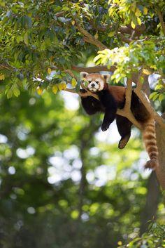 red panda chilling out Nature Animals, Animals And Pets, Baby Animals, Funny Animals, Cute Animals, Baby Pandas, Cute Creatures, Beautiful Creatures, Animals Beautiful