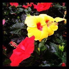 Beautiful hibiscus!