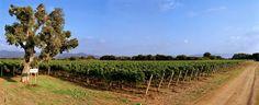 Bolgheri, Tuscany, Italy vineyard.  Super Tuscan, Sondriaia