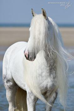 Light gray Horse