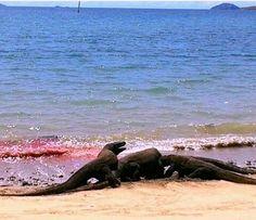 Komodo dragon eating deer on the beach in Loh.Liang,Komodo island