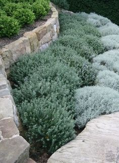 Mooie rustige combinatie van Pittosporum, Westringia en Santolina