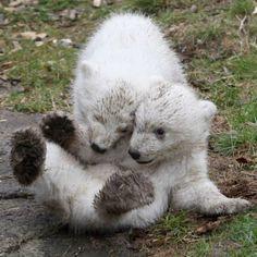 dirty polar bear babies playing
