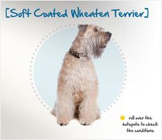Did you know that, unlike its cousins, the Kerry Blue and Irish Terriers, the Soft Coated Wheaten Terrier was known as a poor man's dog? Read more about this breed by visiting Petplan pet insurance's Condition Checker! Wheaten Terrier, Rat Terriers, Beautiful Dog Breeds, Beautiful Dogs, Polish Lowland Sheepdog, English Foxhound, Red And White Setter, Dandie Dinmont Terrier, English Shepherd