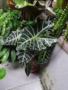 Garden Chronicles : Different Types of Alocasia - Names & Images Alocasia Plant, Jasmine Plant, Garden Labels, Vertical Garden Wall, Best Indoor Plants, Orchids Garden, Different Types, Interior Garden, Types Of Plants