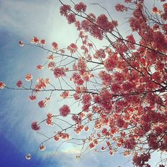 Kirschblütenalarm