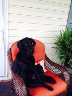 Relaxin. So tough getting a pic of a black lab, their features blend.