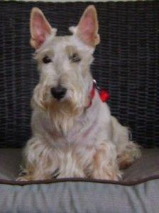 Amelia the Wheaten Scottish Terrier