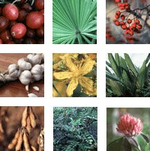 Herbs at a Glance is a series of brief fact sheets that provides basic information about specific herbs or botanicals—common names, what the...