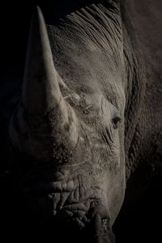 A sub adult white rhinoceros gives us a second look oblivious to the pressure its species is under. Photograph by: Simon Smit