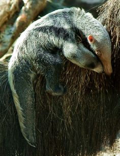 baby giant anteater