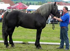 """""""black"""" chestnut - Silesian Noriker stallion Brys Slezský [Extremely dark chestnuts are fairly common in this breed.]"""