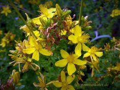 Johannis-Kraut #gourmetkater #herb #kraut #gardening #nature