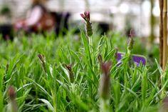 Lavandula stoechas 'Blue Star' - Lilac flowers in Summer. Evergreen and loves full sun. Trim after flowering. Lavandula, Lilac Flowers, Colorful Garden, Hedges, Garden Furniture, Evergreen, Compact, Colour, Sun