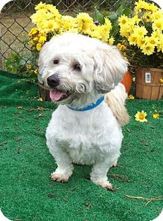 Act quickly to adopt . Pets at this Shelter may be held for only a short time.Marietta, GA - Lhasa Apso/Poodle (Miniature) Mix. Meet ROCCO a Dog for Adoption.