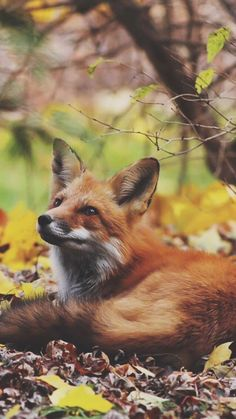 Resting Fox #foxes #fox #cute #animals #cubs #cutie #wow #lol #gift #gifts #shirt #foxy #furry #animal #fuchs #füchse #raposo #renard