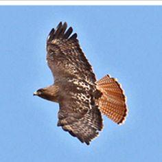 Redtailed Hawk.