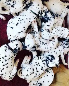 Dalmatians, animals, dogs