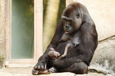 ZOO APES    | Taronga Zoo Welcomes Baby Gorilla