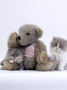 Domestic Cat, Two Persian Kittens with Teddy Bear