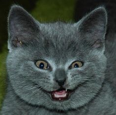 """""""He he he, I just ate all of your tasty fried chicken!!!"""" said the cute fuzzy grey kitty with evil plans!"""