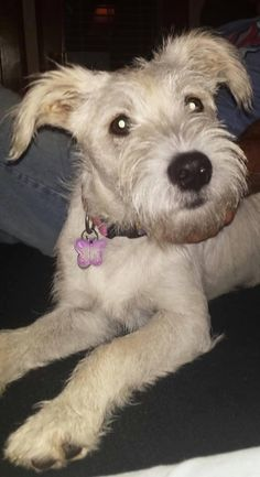 Meet+Molly,+a+Petfinder+adoptable+Terrier+Dog+|+Arlington,+TX+|+Molly+is+about+4-6+months+and+a+terrier/lab+mix.+She+is+beautiful+and+has+the+cutest+freckles.+She...