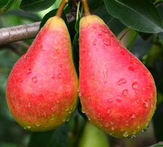 Planificator de livadă Beautiful Fruits, Mango, Gardening, Travel, Garden, Agriculture, Plant, Atelier, Manga