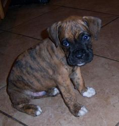 Brindle Boxer Puppies | reverse brindle boxer dogs pups image search results