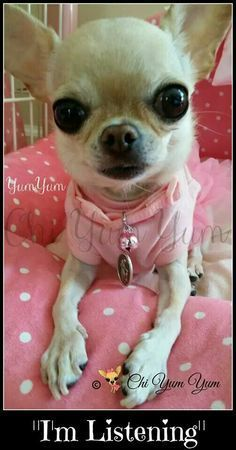 Chihuahua Puppies, Cute Puppies, Cute Dogs, Dogs And Puppies, Chihuahua Facts, Doggies, Akita, Baby Dogs, Little Dogs