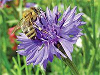 Jaké rostliny pěstovat, aby kvetly a sytily včely od jara do podzimu?