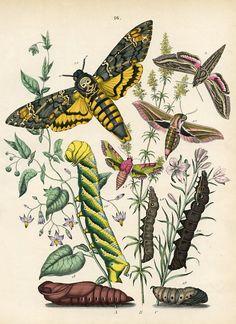 Moths - Sphingidae
