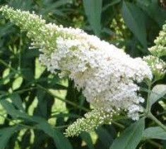 White Profusion Butterfly Bush Buddleia davidii 'white profusion' A good clear white flower that blooms from late spring through late summer. It has soft silvery undersides on its leaves which complem