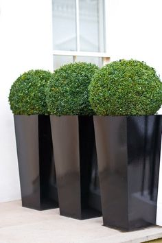 Box topiaries in tall black planters