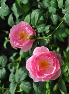 'Skylark' |  Shrub.  English Rose Collection. Production 2007 United Kingdom David Austin