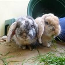Sofia is looking for a home with is partner Moscow. This is their second visit to the shelter through no fault of their own. They are both very sweet rabbits who enjoy coming up to you to see what you are doing. If you think you can offer this pair of rabbits a home please contact the Gomanchester shelter.
