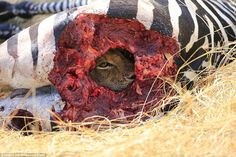 One of two lions seen feasting on the zebra peers through a hole it has torn in the animal's hide during the bloody feast