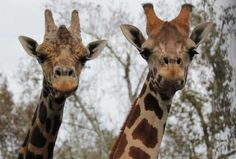 Emba and Rafiki are the two stars of a new giraffe exhibit opening at the Central Florida Zoo and Botanical Gardens in Sanford. (PHOTO/Centr...