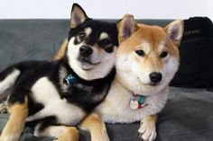 Japanese Dog Breeds, Japanese Dogs, Super Cute Puppies, Cute Baby Dogs, Pet Dogs, Dog Cat, Pets, Shiba Inu Black, Baby Animals