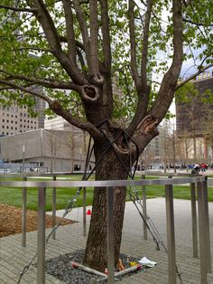 The only surviving tree in the 9/11 attack, they saved it and it is now planted at the world trade center memorial