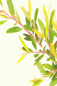 #Essential #oils #one #plant Tea tree is one of the six new scents to possibly add to your customizable fragrance or aromatherapy blend Link to shop in bio brp classfirstletterYou are in the right place about scentspIt is one of the tops quality impression that can be presented with this vivid and remarkable piece plantblockquoteThe Pictures called Tea tree is one of the six new scents to possibly add to your cus is one of the Most handsomely icon found in our panel The width 1080 and the… Fantastic Beasts And Where, Tea Tree, Aromatherapy, Plant Leaves, Essential Oils, Fragrance, Ads, Nature, Plants