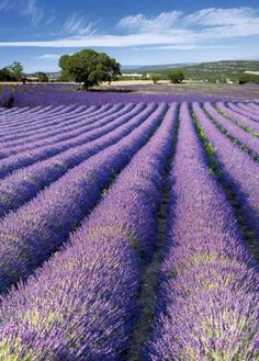 Decor and Recipes Inspiration Outdoor Dining, Provence Lavender Blue, Lavender Fields, Lavender Garden, Provence France, French Riviera, Beautiful Places, Scenery, Flowers, Style Fashion