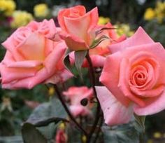 Róże wielokwiatowe, fot. www.sxc.hu