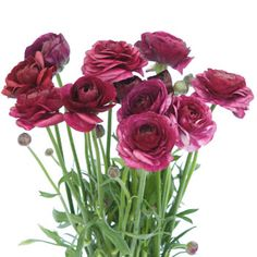 FiftyFlowers.com - Ranunculus Flower Raspberry Plum September to May 15th Delivery