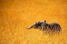 Elephant Cub In the Wild