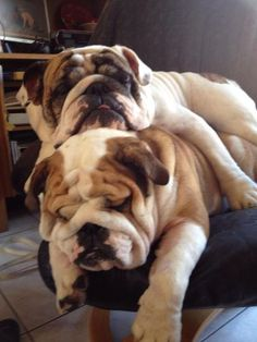 shammyrockshake: can i have one? English bulldogs