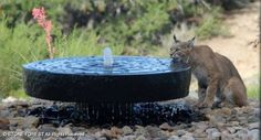 millstone fountain with a lynx...he's berry thirsty!