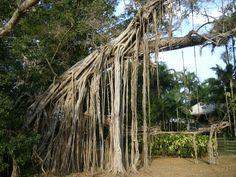 Banyan trees provide more than shelter | eyes4earth.org