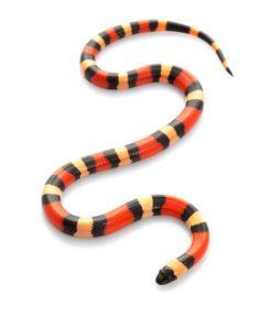 Pueblan Milk Snake (Lampropeltis t. campbelli)