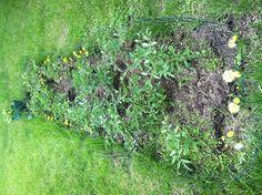 Tomato garden's growing!!  6-9-13